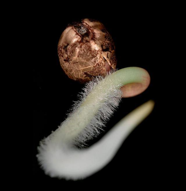 Germinarea Semintelor De Cannabis  - Pas cu pas