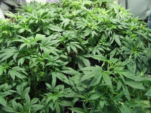 cannabis-vegetative-growth