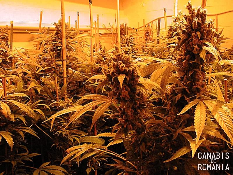 marijuana_inflorita